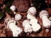 Amanita-pantherina