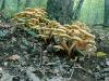 Armillaria-mellea-Chiodino-tossico-da-crudo-o-raccolto-in-stato-avanzato