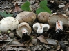 Russula-acrifolia