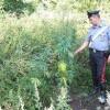 Blitz dell'Arma: sequestrata una piantagione di marijuana