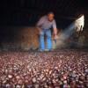 Castagne, catastrofe produzione