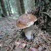 Raccolta funghi e tartufi: controlli più severi