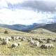 Industria in Irpinia: allevamento di bestiame