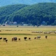 Mucche in libertà sull'altopiano, il sindaco respinge le accuse