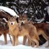 Sorpresa all'Altopiano Laceno, tornano i lupi