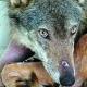 Un progetto per salvare il lupo Alberto - Gli allevatori non denunciano ...