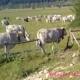 Mucche nei residence dell'altopiano. Albergatori e turisti: «Sono un rischio»