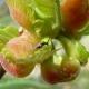 L'insetto-eroe che salverà le nostre castagne