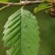 Cinipide, Amendolara rassicura: lanci di Torymus per contrastare il parassita