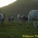 La transumanza e le vacche podoliche