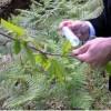 Rubate le galle di cinipide dal centro di allevamento del Torymus