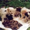 Caposele, denunciati ricercatori tartufi per maltrattamenti animali