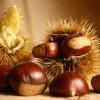 Un autunno senza castagne, il crollo dei raccolti per un parassita cinese
