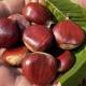 A Montella, convegno sulla castanicoltura irpina