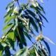Cinipide, gli agronomi chiedono lo stato di calamità naturale