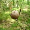 Cinipide del castagno