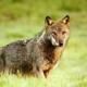 Il lupo appenninico