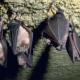 """Bagnoli, pipistrello pesticida naturale: installate le casette """"batbox"""""""