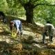 I varroni e la raccolta delle castagne