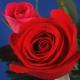 Rosa che … arrossisce!
