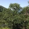 Al via i progetti territoriali per la lotta al Cinipide galligeno del castagno