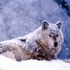 AMARCORD – HIRPINIA: terra di lupi!