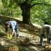 """Confagricoltura: """"A rischio il 70% del raccolto di castagne"""""""