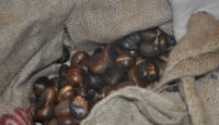 Crolla la castanicoltura irpina