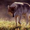In un burrone dei Monti Picentini, salvato dall'uomo l'ultimo lupo