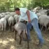 Sale il numero di ovini morti in Irpinia affetti da lingua blu