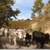 La transumanza delle mucche in Puglia