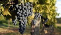 Storia del Tuccanese, del Mangiaguerra e di altri vitigni bagnolesi