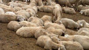Bagnoli-febbre-catarrale-ovini