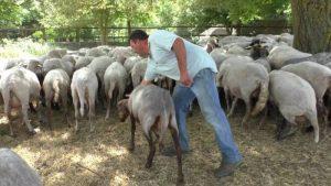 Pecore-Laceno
