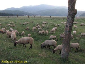 pecora-bagnolese-1