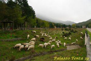 pecora-bagnolese-malavizza-2