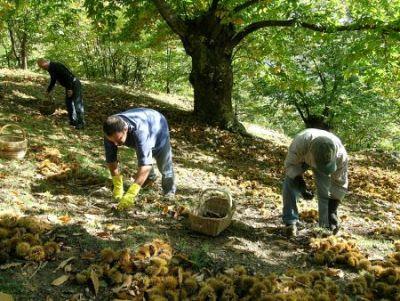 Associazione culturale palazzo tenta 39 i varroni e la for Raccogliere castagne